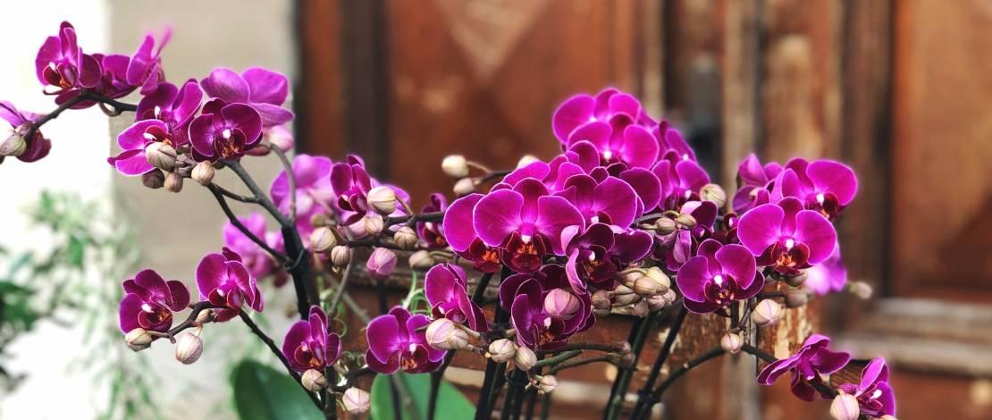 orchid-florist-geneva